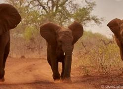 Elephant-copyright-photographers-on-safari-com-6266