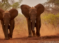 Elephant-copyright-photographers-on-safari-com-6267