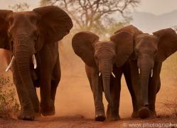 Elephant-copyright-photographers-on-safari-com-6269