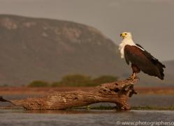 Fish-Eagle-copyright-photographers-on-safari-com-6273