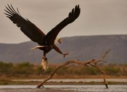 Fish-Eagle-copyright-photographers-on-safari-com-6274