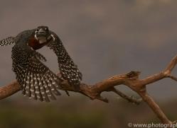 Giant-Kingfisher-copyright-photographers-on-safari-com-6276