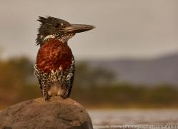 Giant-Kingfisher-copyright-photographers-on-safari-com-6279