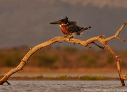 Giant-Kingfisher-copyright-photographers-on-safari-com-6284