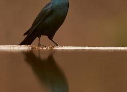 Glossy-Starling-copyright-photographers-on-safari-com-6286
