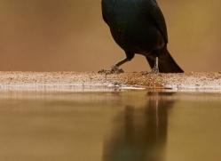 Glossy-Starling-copyright-photographers-on-safari-com-6290
