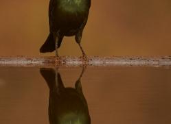 Glossy-Starling-copyright-photographers-on-safari-com-6291