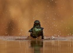 Glossy-Starling-copyright-photographers-on-safari-com-6292