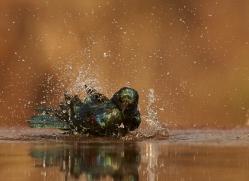 Glossy-Starling-copyright-photographers-on-safari-com-6294