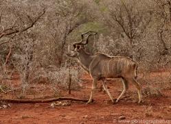 Greater-Kudu-copyright-photographers-on-safari-com-6299
