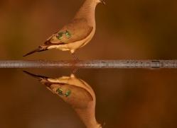Green-Spotted-Dove-copyright-photographers-on-safari-com-6305