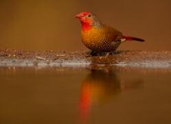 Green-Winged-Pytilia-copyright-photographers-on-safari-com-6308