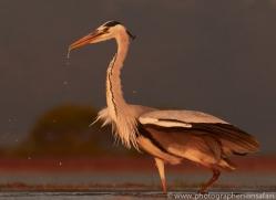 Grey-Heron-copyright-photographers-on-safari-com-6314