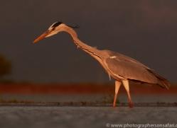 Grey-Heron-copyright-photographers-on-safari-com-6316