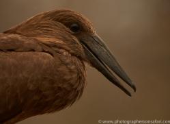 Hammerkopf-copyright-photographers-on-safari-com-6318