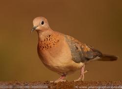 Laughing-Dove-copyright-photographers-on-safari-com-6321