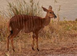 Nyala-copyright-photographers-on-safari-com-6325