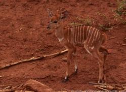 Nyala-copyright-photographers-on-safari-com-6327