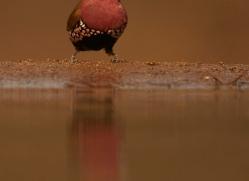 Pink-Throated-Twinspot-copyright-photographers-on-safari-com-6332