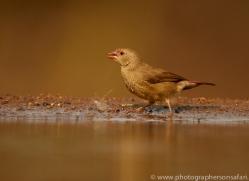 Red-Billed-Firefinch-copyright-photographers-on-safari-com-6333