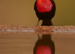 Scarlet-Chested-Sunbird-copyright-photographers-on-safari-com-6337