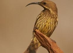 Scarlet-Chested-Sunbird-copyright-photographers-on-safari-com-6338