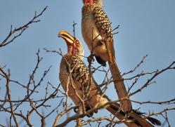 Southern-Yellow-Billed-Hornbill-copyright-photographers-on-safari-com-6344