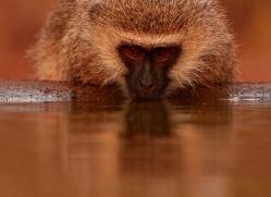 Vervet-Monkey-copyright-photographers-on-safari-com-6345