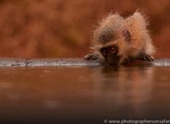 Vervet-Monkey-copyright-photographers-on-safari-com-6348