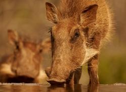 Wart-Hog-copyright-photographers-on-safari-com-6350