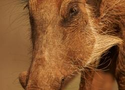 Wart-Hog-copyright-photographers-on-safari-com-6353