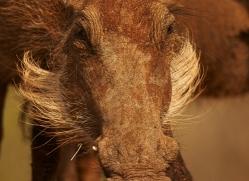 Wart-Hog-copyright-photographers-on-safari-com-6354