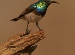White-Bellied-Sunbird-copyright-photographers-on-safari-com-6356