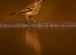 White-Browed-Scrub-Robin-copyright-photographers-on-safari-com-6360