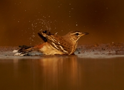 White-Browed-Scrub-Robin-copyright-photographers-on-safari-com-6361