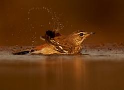 White-Browed-Scrub-Robin-copyright-photographers-on-safari-com-6362