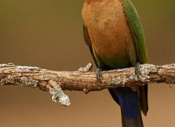 White-Fronted-Bee-Eater-copyright-photographers-on-safari-com-6363