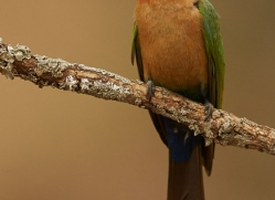 White-Fronted-Bee-Eater-copyright-photographers-on-safari-com-6365