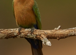 White-Fronted-Bee-Eater-copyright-photographers-on-safari-com-6368