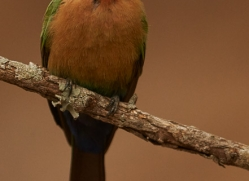 White-Fronted-Bee-Eater-copyright-photographers-on-safari-com-6374