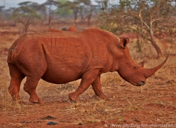 White-Rhino-copyright-photographers-on-safari-com-6376