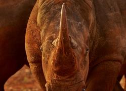 White-Rhino-copyright-photographers-on-safari-com-6378