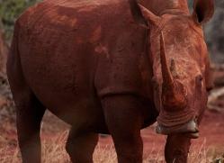 White-Rhino-copyright-photographers-on-safari-com-6380