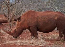 White-Rhino-copyright-photographers-on-safari-com-6382
