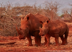 White-Rhino-copyright-photographers-on-safari-com-6383
