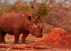 White-Rhino-copyright-photographers-on-safari-com-6384