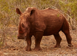 White-Rhino-copyright-photographers-on-safari-com-6386