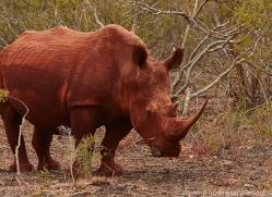 White-Rhino-copyright-photographers-on-safari-com-6389
