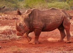 White-Rhino-copyright-photographers-on-safari-com-6391