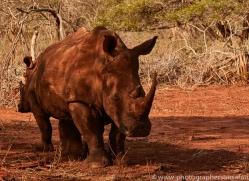 White-Rhino-copyright-photographers-on-safari-com-6392